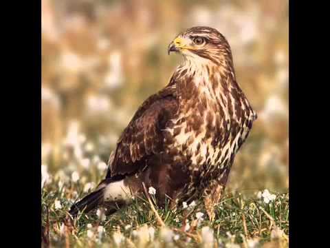 British Birds Of Prey Youtube