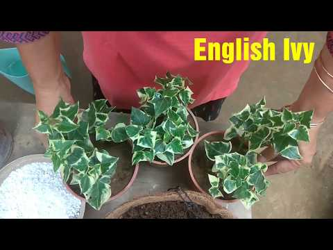 How to grow English Ivy in Hanging baskets
