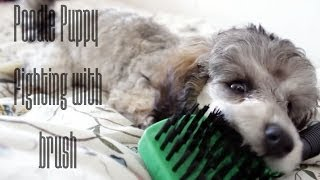 Cute Poodle Puppy Fighting With Brush