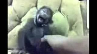 Kucing ketawa