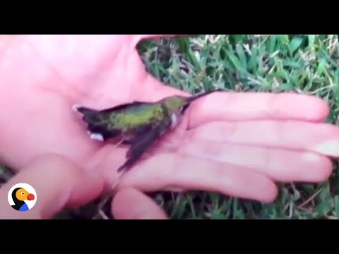 Hummingbird Stuck In Gum Rescued by Kind Family | The Dodo