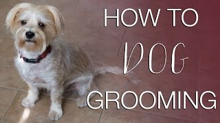 How to Groom Your Dog 🐶 at Home (Morkie Grooming)