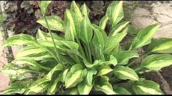 Воздушные кружева. Лучшие вуальные растения. Неизменным инструментом флористики, средством составления изящных букетов всегда служили так называемые вуальные растения — культуры, которые благодаря мелким, но очень изящным цветкам кажутся живыми кружевами. Такие растения можно.