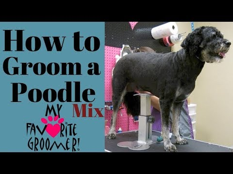 How to Groom a Poodle Mix
