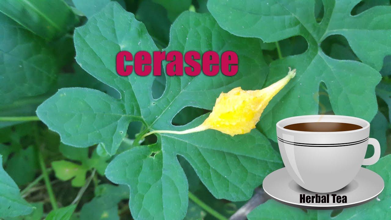 Cerasee (Jamaican Cerasee, Cerasee Tea, Cerasee Plant)