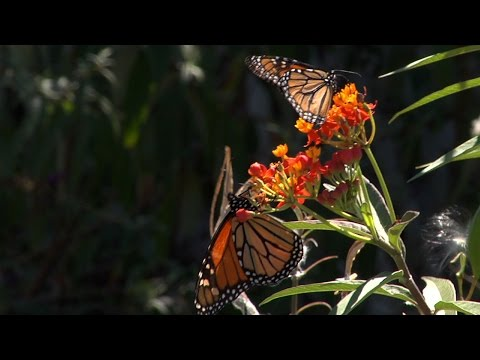 Monarchs Stop in Cape May Point on Journey to Mexico
