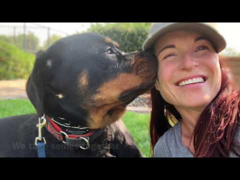 fearful-and-shut-down-rottweiler-puppy-gains-confidence-in-board-and-train-with-e-collar-training