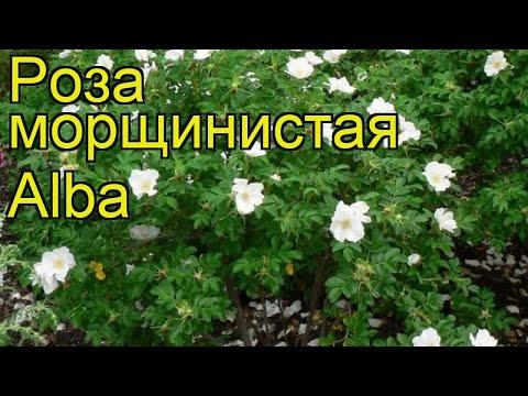 Роза морщинистая Альба. Краткий обзор, описание характеристик, где купить саженцы rosa rugosa Alba