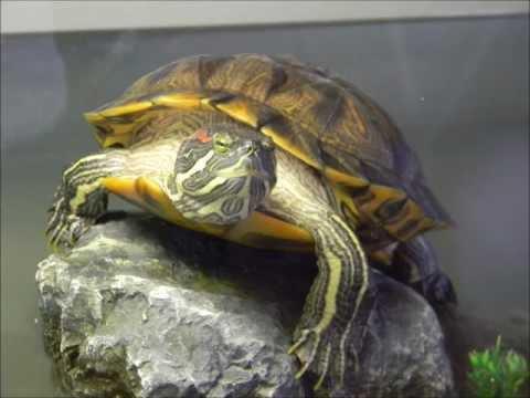 Cuidados tortuga japonesa  (Trachemys scripta elegans)