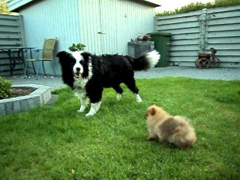 Border Collie And Pomeranian Playing Youtube