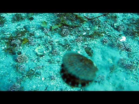 Swimming seashells