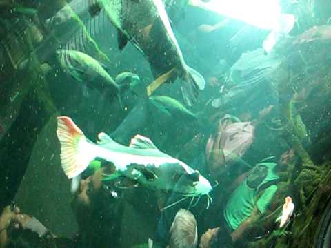 Amazon's River Fishes