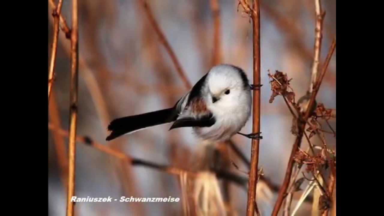 Ptaki Polski Wiosenne Odgłosy Ptaków Czeczotkajemiołuszka