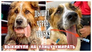 Собака дышит через дырку в шее. Уникальные операции и спасение.
