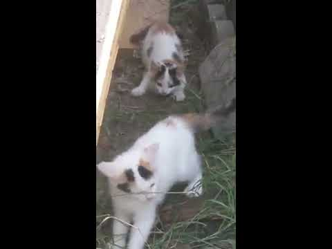 Feral kittens playing with rock