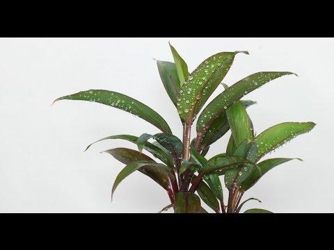 Cordyline fruticosa - Keulenlilie, Cabbage Palm
