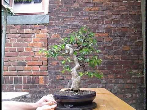 ficus benjamina bonsai after wiring 2013 youtube rh youtube com