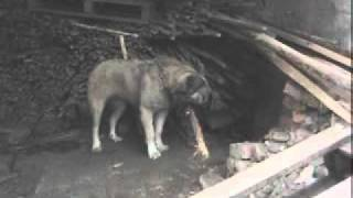 Basic Dog Training Kerry [ Kangal ] 2
