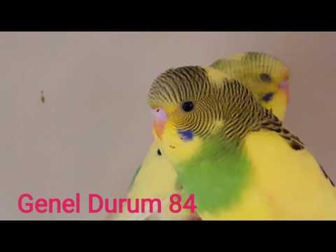 Muhabbet Kuşu Genel Durum #84