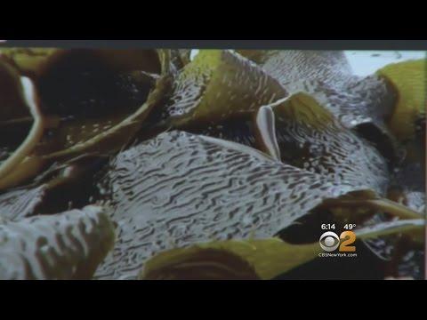 Exploring The Benefits Of Kelp
