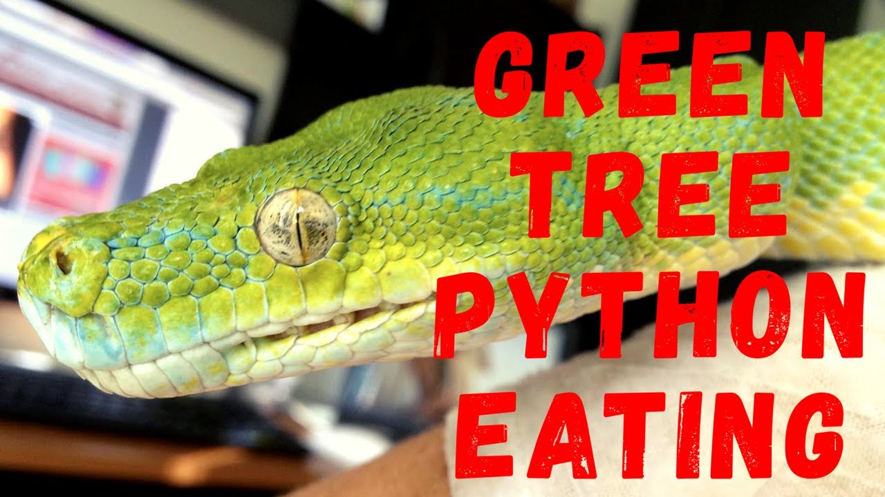 Time lapse of green tree python eating