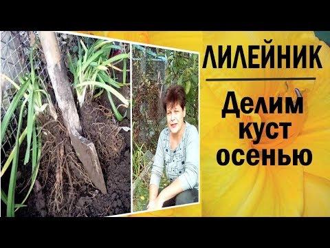 Как размножать лилейник делением куста Осенью и весной