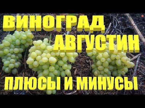 ВИНОГРАД АВГУСТИН.Плюсы и минусы данного сорта винограда