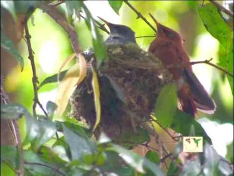 Juan Fernandez Firecrown Hummingbird is Critically Endangered