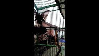 Download lagu Burung kutilang suara isian banyak MP3