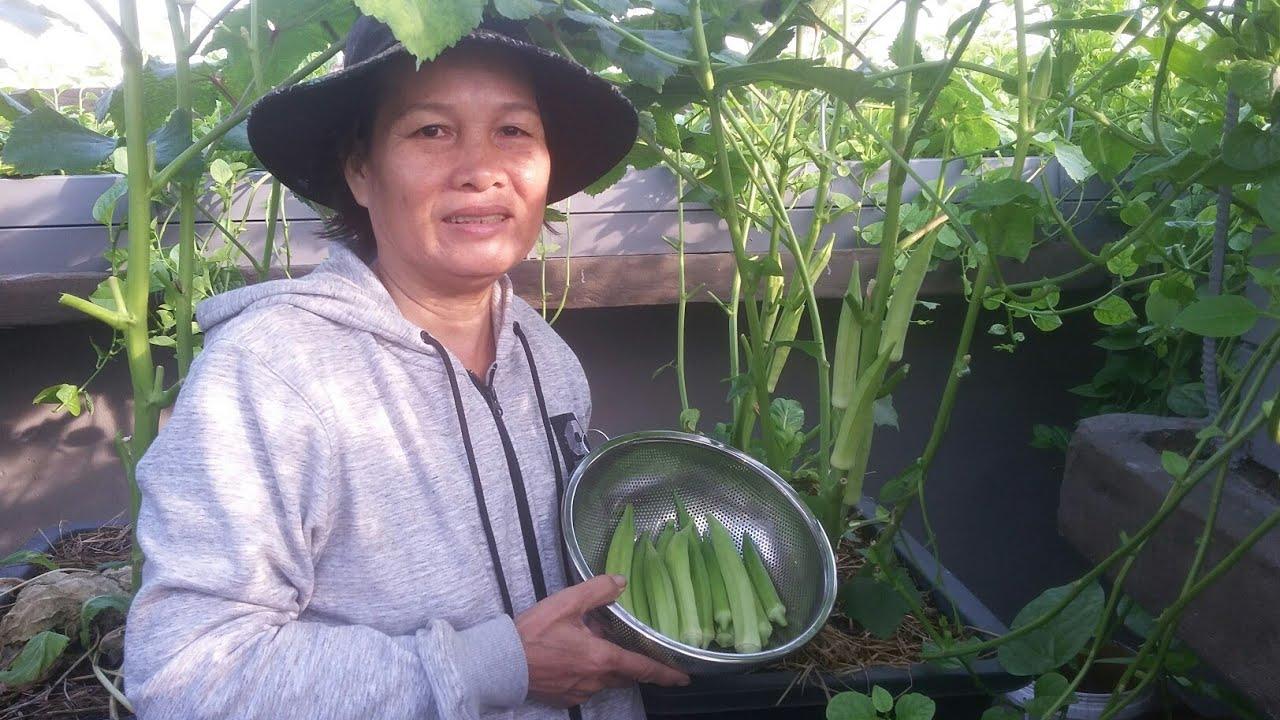 Thu hoạch Đậu bắp trồng thùng thông minh trái đã quá 22/5/2019 | Khoa Hien 188