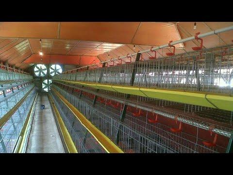 Cara Membuat Kandang Ayam Petelur  Merangkai Baterai Besi