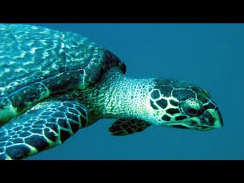 Sea Turtles Documentary HD - hidden secretes of the flying sea turtles