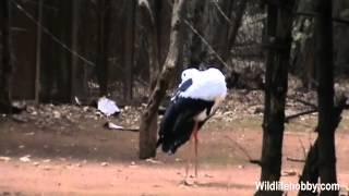 White stork natural scene | White Stork | Stork