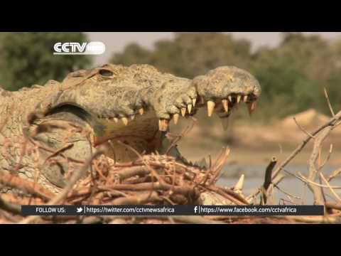 Africa Wildlife: Daring enough to mingle with vicious crocodiles?