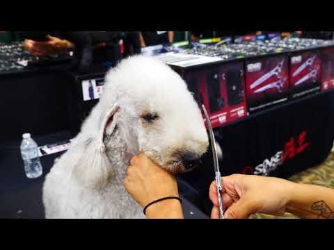 Bedlington head demo. Dog grooming by Macie Pisa.