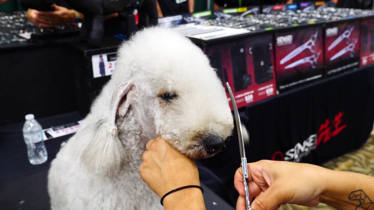 Bedlington Head Demo Dog Grooming By Macie Pisa Youtube