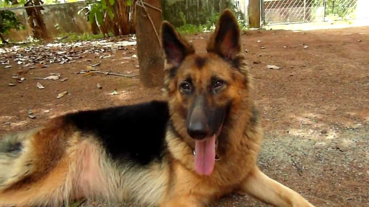 German Shepherd Kerala Thrissur Mannuthy Youtube