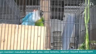 Download Suara Master Love Bird Jernih Natural Efektif Durasi Panjang 1 Jam