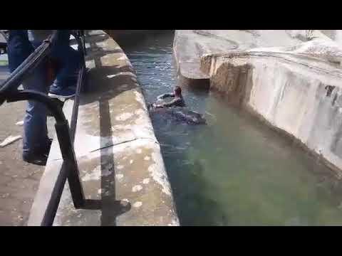 Salta peneque ao recinto dos osos e intenta afogar a un