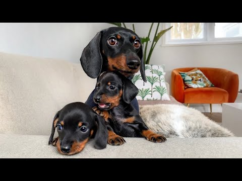 Which Dachshund Puppy Are We Going To Choose?