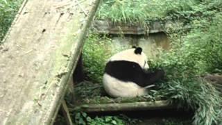 Pandas en la reserva de BI FENG XIA China