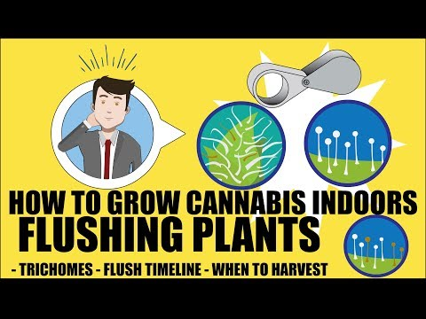 Flushing Cannabis Plants – How to grow marijuana course for dummies – Growing Cannabis Indoors 101