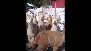 Gambar cover Walking amongst alpacas - Gåtur blant alpakkaene