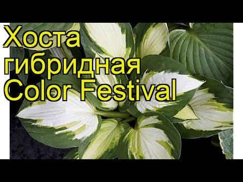 Хоста гибридная Колор Фестиваль. Краткий обзор, описание характеристик hosta hybrida Color Festival