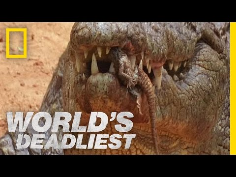 Killer Croc Carries Babies in Jaws | World's Deadliest