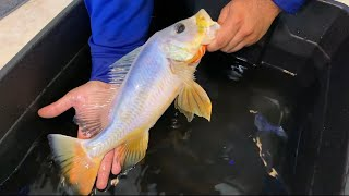 1-in-a-million-translucent-white-peacock-bass-fish-update