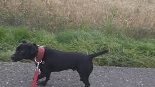 SLOUGHI  MAROCCAN RUNNING DOG SIGHTHOUND WITH A PINCH OF GUARD DOG. ESTACADO PATTERDALE TERRIERS