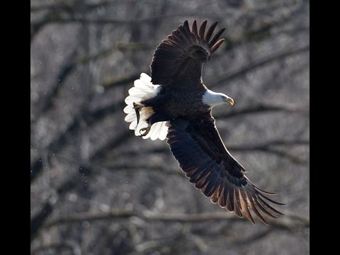 Bald Eagles at Jordan Lake