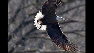 Bald Eagles at Jordan Lake