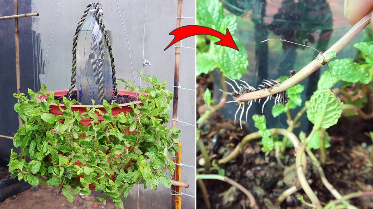 How to Grow mint in pot | Growing mint from cuttings with automatic watering system